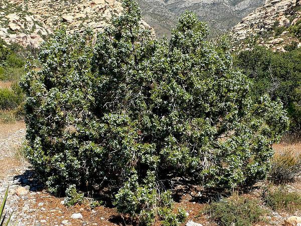 Utah Juniper (Juniperus Osteosperma) https://www.sagebud.com/utah-juniper-juniperus-osteosperma/