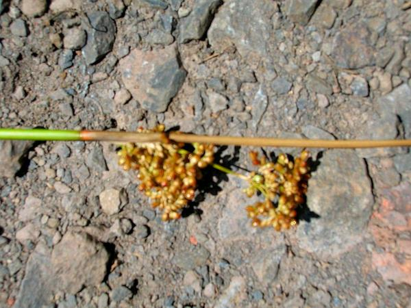 Manyflower Rush (Juncus Polyanthemos) https://www.sagebud.com/manyflower-rush-juncus-polyanthemos