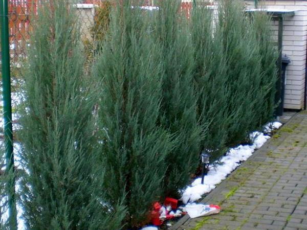 Rocky Mountain Juniper (Juniperus Scopulorum) https://www.sagebud.com/rocky-mountain-juniper-juniperus-scopulorum/