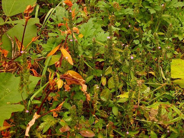 Water-Willow (Justicia) https://www.sagebud.com/water-willow-justicia