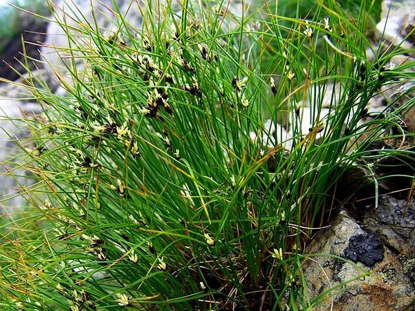 Highland Rush (Juncus Trifidus) https://www.sagebud.com/highland-rush-juncus-trifidus