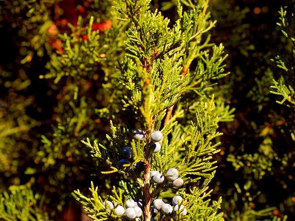 Eastern Redcedar (Juniperus Virginiana) https://www.sagebud.com/eastern-redcedar-juniperus-virginiana/