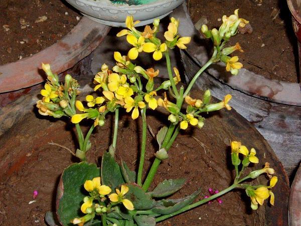 Madagascar Widow's-Thrill (Kalanchoe Blossfeldiana) https://www.sagebud.com/madagascar-widows-thrill-kalanchoe-blossfeldiana