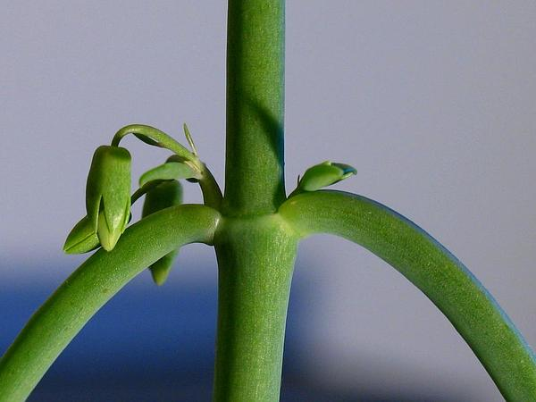 Devil's Backbone (Kalanchoe Daigremontiana) https://www.sagebud.com/devils-backbone-kalanchoe-daigremontiana