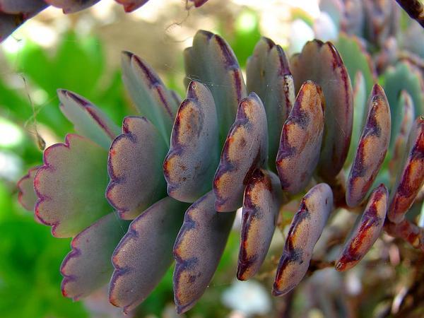 Lavender Scallops (Kalanchoe Fedtschenkoi) https://www.sagebud.com/lavender-scallops-kalanchoe-fedtschenkoi