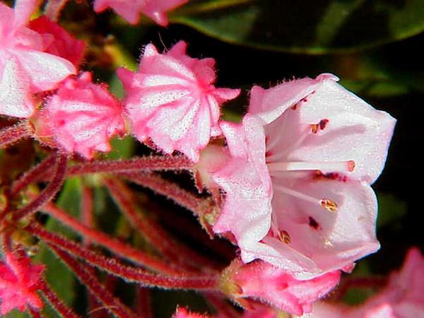 Mountain Laurel (Kalmia Latifolia) https://www.sagebud.com/mountain-laurel-kalmia-latifolia