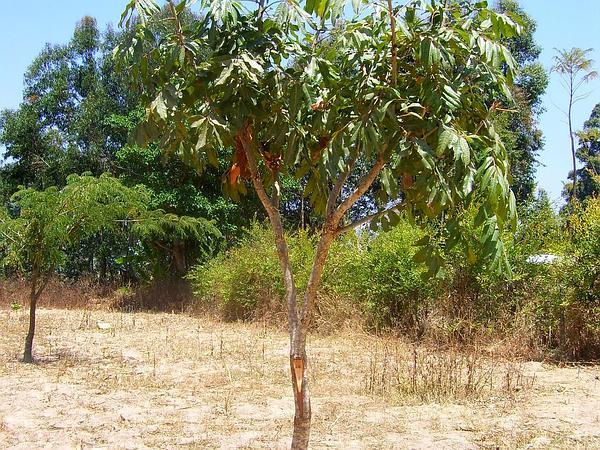 African Mahogany (Khaya) https://www.sagebud.com/african-mahogany-khaya