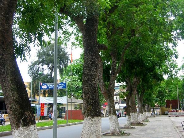 Senegal Mahogany (Khaya Senegalensis) https://www.sagebud.com/senegal-mahogany-khaya-senegalensis