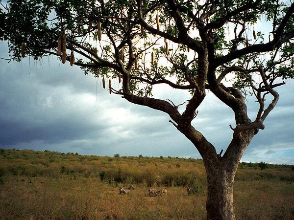 Sausage Tree (Kigelia Africana) https://www.sagebud.com/sausage-tree-kigelia-africana
