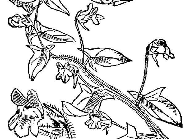 Sharpleaf Cancerwort (Kickxia Elatine) https://www.sagebud.com/sharpleaf-cancerwort-kickxia-elatine