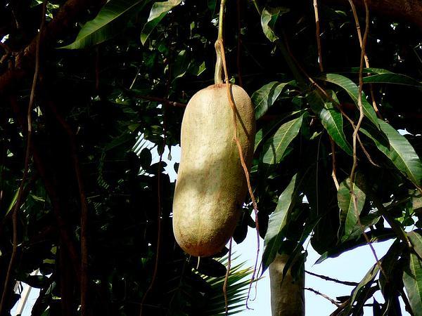 Sausage Tree (Kigelia) https://www.sagebud.com/sausage-tree-kigelia/