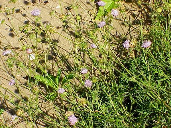 Field Scabiosa (Knautia Arvensis) https://www.sagebud.com/field-scabiosa-knautia-arvensis