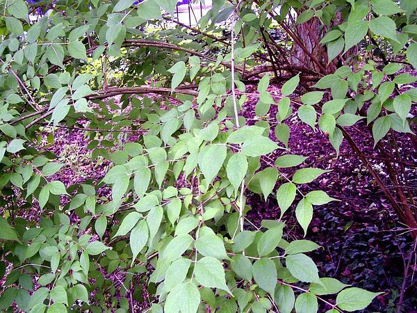 Beautybush (Kolkwitzia Amabilis) https://www.sagebud.com/beautybush-kolkwitzia-amabilis