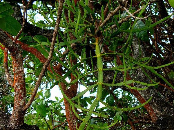 Kaumahana (Korthalsella Complanata) https://www.sagebud.com/kaumahana-korthalsella-complanata/