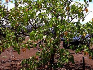 Molokai Treecotton