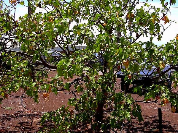 Molokai Treecotton (Kokia Cookei) https://www.sagebud.com/molokai-treecotton-kokia-cookei