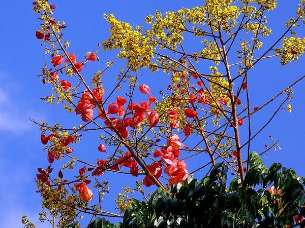 Flamegold (Koelreuteria Elegans) https://www.sagebud.com/flamegold-koelreuteria-elegans