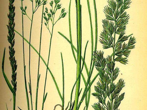 Junegrass (Koeleria) https://www.sagebud.com/junegrass-koeleria