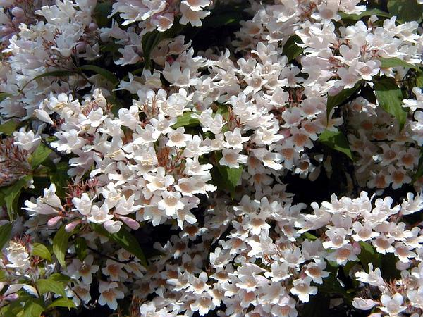 Kolkwitzia (Kolkwitzia) https://www.sagebud.com/kolkwitzia-kolkwitzia