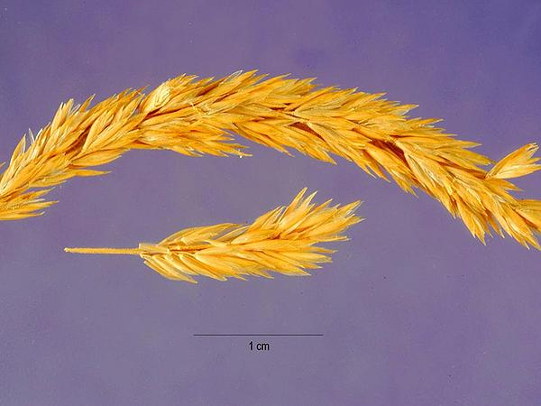 Prairie Junegrass (Koeleria Macrantha) https://www.sagebud.com/prairie-junegrass-koeleria-macrantha