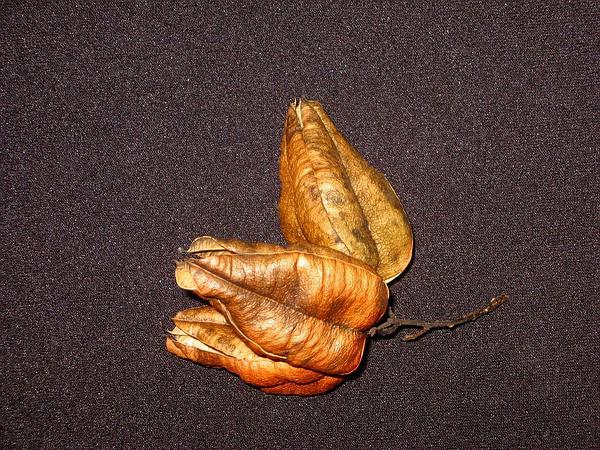 Goldenrain Tree (Koelreuteria Paniculata) https://www.sagebud.com/goldenrain-tree-koelreuteria-paniculata/