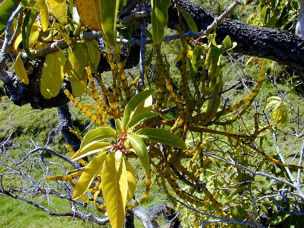 Korthal Mistletoe (Korthalsella) https://www.sagebud.com/korthal-mistletoe-korthalsella