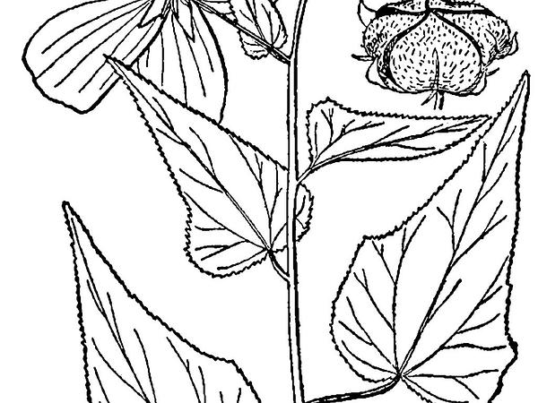 Kosteletzkya (Kosteletzkya) https://www.sagebud.com/kosteletzkya-kosteletzkya