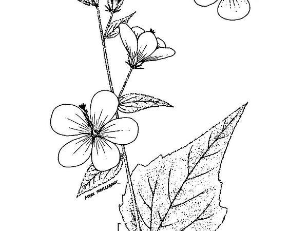 Virginia Saltmarsh Mallow (Kosteletzkya Virginica) https://www.sagebud.com/virginia-saltmarsh-mallow-kosteletzkya-virginica