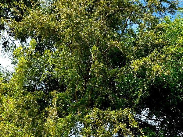 Burgan (Kunzea Ericoides) https://www.sagebud.com/burgan-kunzea-ericoides/