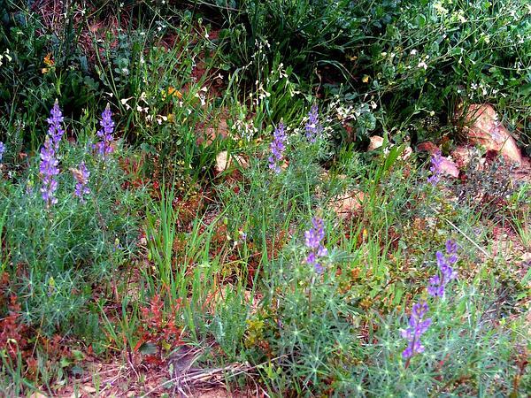 Narrowleaf Lupine (Lupinus Angustifolius) https://www.sagebud.com/narrowleaf-lupine-lupinus-angustifolius