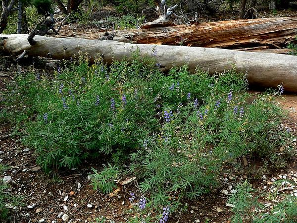Silvery Lupine (Lupinus Argenteus) https://www.sagebud.com/silvery-lupine-lupinus-argenteus
