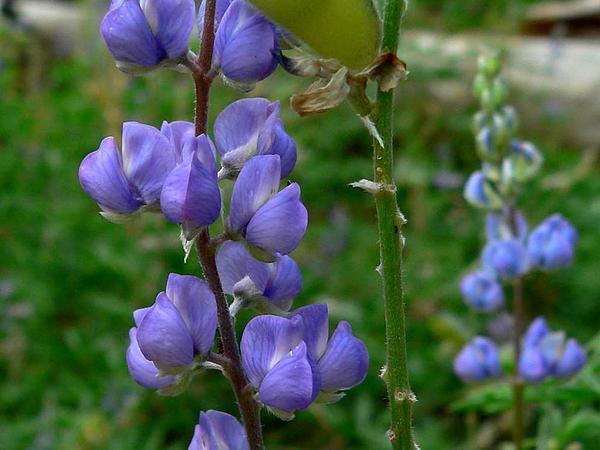 Silvery Lupine (Lupinus Argenteus) https://www.sagebud.com/silvery-lupine-lupinus-argenteus