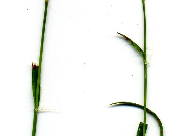 Field Woodrush (Luzula Campestris) https://www.sagebud.com/field-woodrush-luzula-campestris
