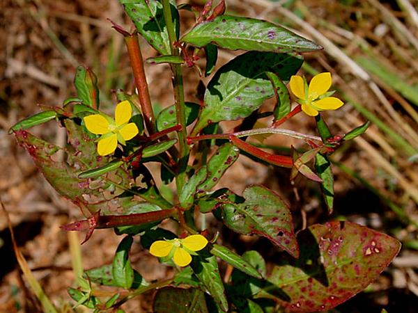 Primrose-Willow (Ludwigia) https://www.sagebud.com/primrose-willow-ludwigia