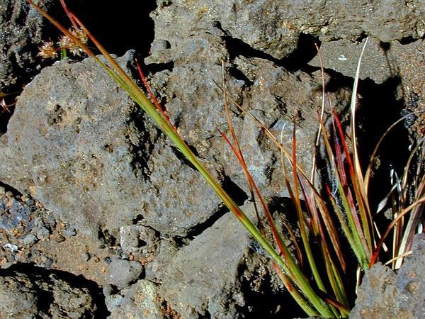 Hawai'I Woodrush (Luzula Hawaiiensis) https://www.sagebud.com/hawaii-woodrush-luzula-hawaiiensis