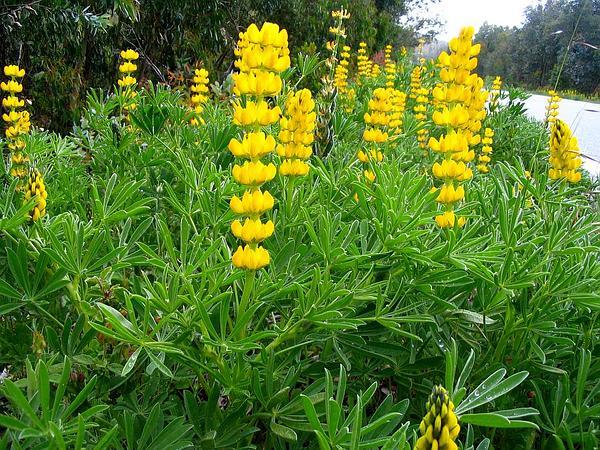European Yellow Lupine (Lupinus Luteus) https://www.sagebud.com/european-yellow-lupine-lupinus-luteus