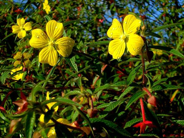 Mexican Primrose-Willow (Ludwigia Octovalvis) https://www.sagebud.com/mexican-primrose-willow-ludwigia-octovalvis