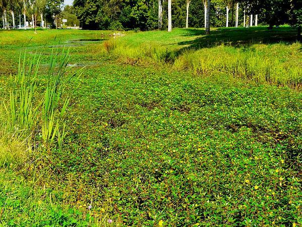 Floating Primrose-Willow (Ludwigia Peploides) https://www.sagebud.com/floating-primrose-willow-ludwigia-peploides