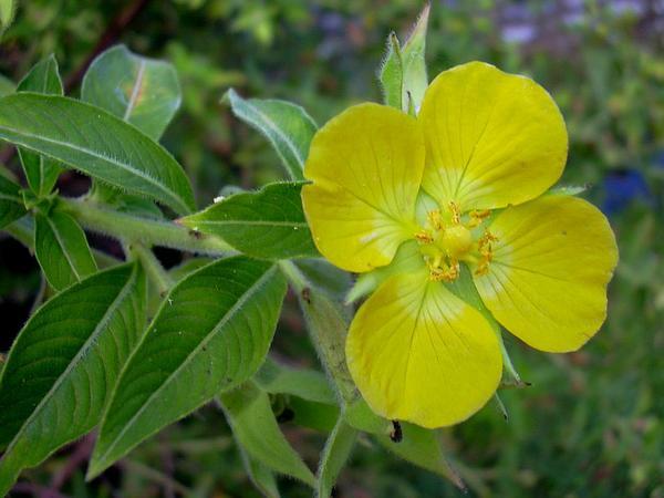 Peruvian Primrose-Willow (Ludwigia Peruviana) https://www.sagebud.com/peruvian-primrose-willow-ludwigia-peruviana