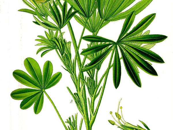 Lupine (Lupinus) https://www.sagebud.com/lupine-lupinus