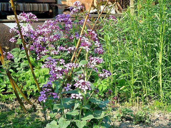 Perennial Honesty (Lunaria Rediviva) https://www.sagebud.com/perennial-honesty-lunaria-rediviva