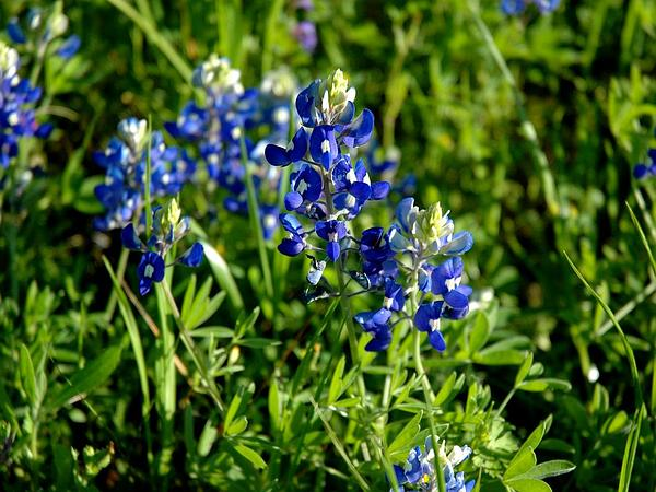Texas Lupine (Lupinus Texensis) https://www.sagebud.com/texas-lupine-lupinus-texensis