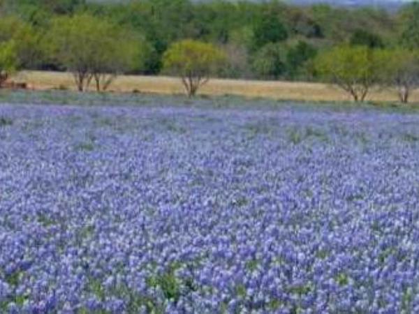 Texas Lupine (Lupinus Texensis) https://www.sagebud.com/texas-lupine-lupinus-texensis