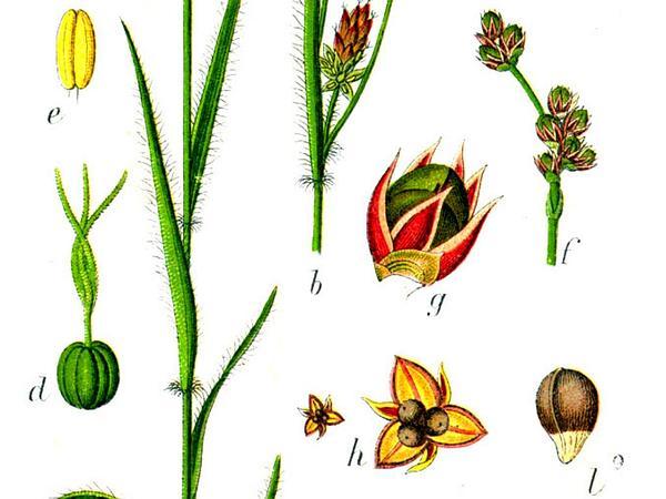 Woodrush (Luzula) https://www.sagebud.com/woodrush-luzula