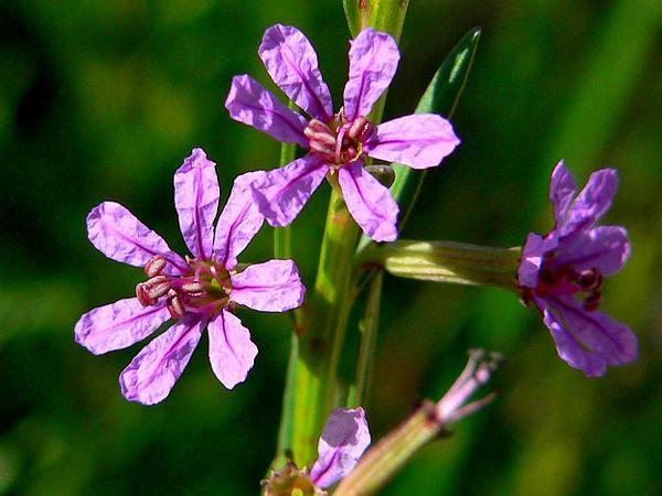 California Loosestrife (Lythrum Californicum) https://www.sagebud.com/california-loosestrife-lythrum-californicum