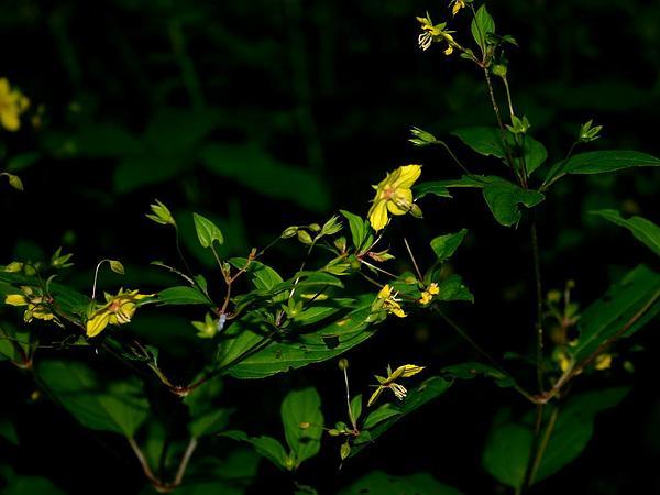 Fringed Loosestrife (Lysimachia Ciliata) https://www.sagebud.com/fringed-loosestrife-lysimachia-ciliata