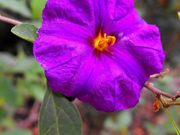 Lycianthes (Lycianthes) https://www.sagebud.com/lycianthes-lycianthes