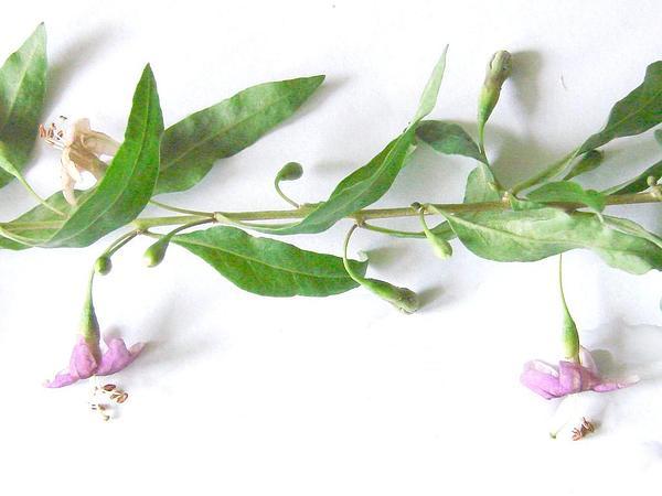 Desert-Thorn (Lycium) https://www.sagebud.com/desert-thorn-lycium