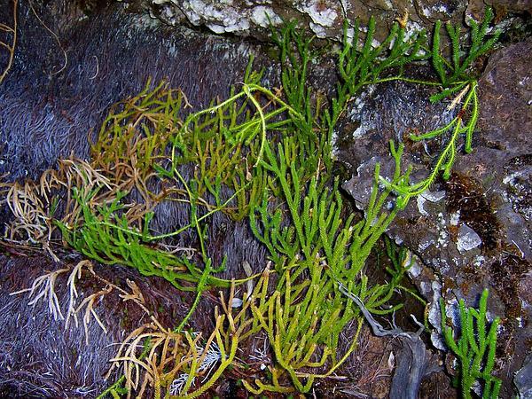 Running Clubmoss (Lycopodium Clavatum) https://www.sagebud.com/running-clubmoss-lycopodium-clavatum