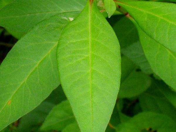 Gooseneck Yellow Loosestrife (Lysimachia Clethroides) https://www.sagebud.com/gooseneck-yellow-loosestrife-lysimachia-clethroides